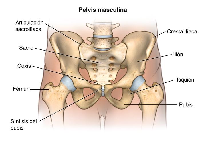 Atractivo Hueso Pélvico Elaboración - Anatomía de Las Imágenesdel ...